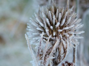 Frosted Thistle